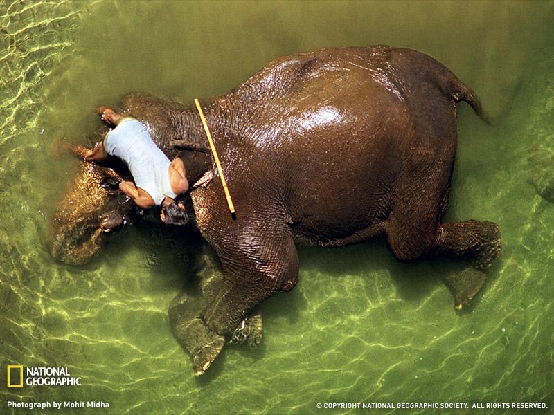 Elephant India's national heritage animal