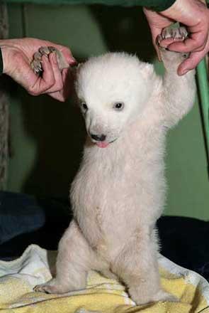 Knut polar bear