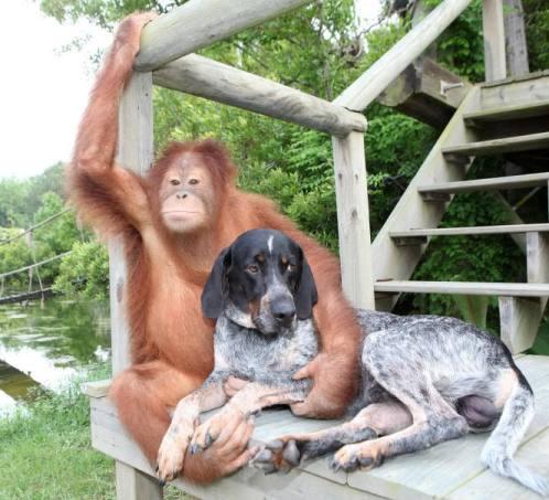 surya orangutan dog friends