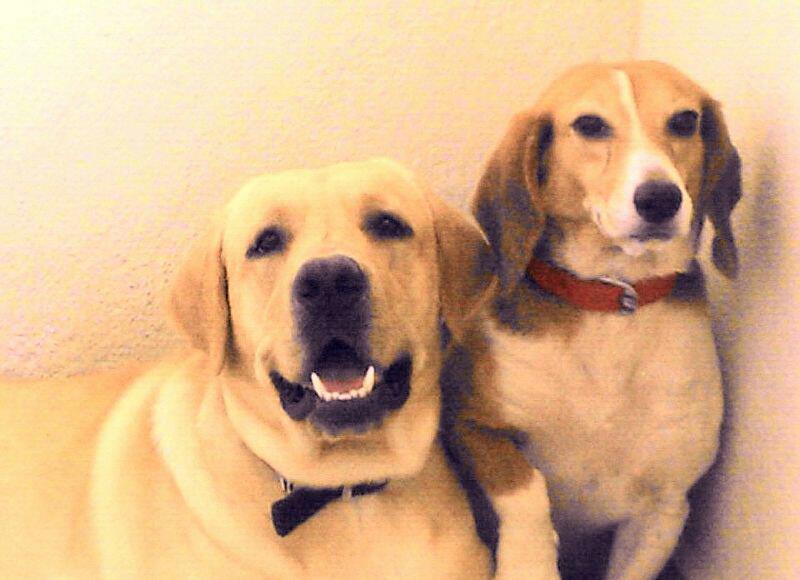 adoption Beagle dog laboratory