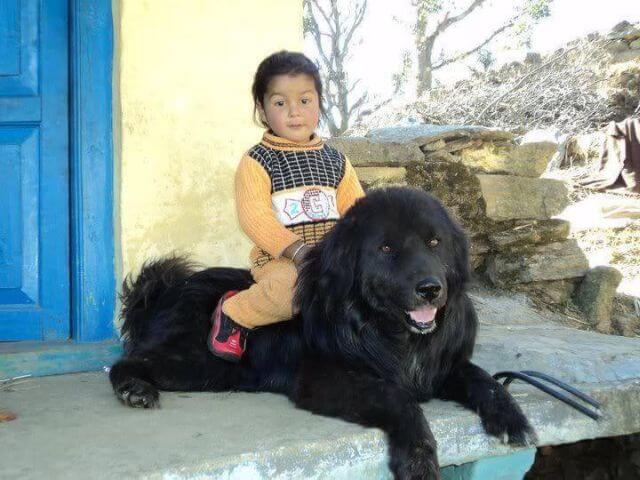 bhutia dog and kid