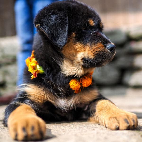 Kukur Tihar, Nepal dogs