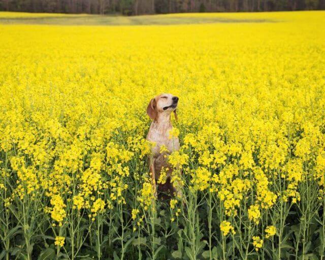 dog mustard field