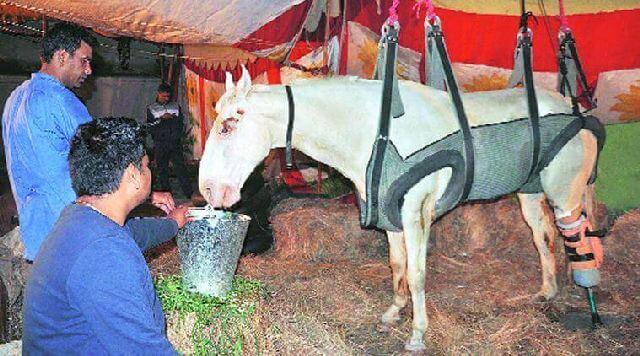 RIP shaktiman horse injury