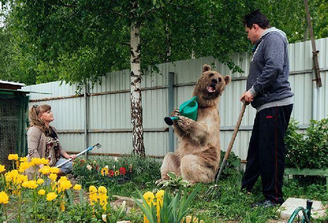 pet bear Russia