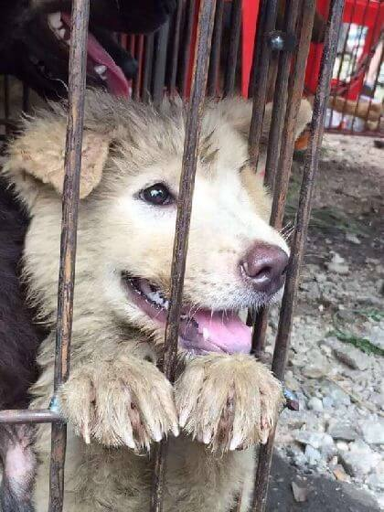stop yulin dog meat festival
