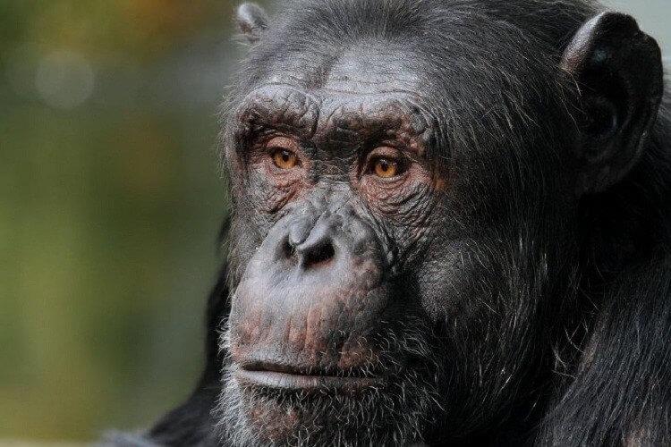 Chimp election