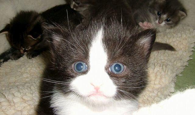 Tuxedo stan cat