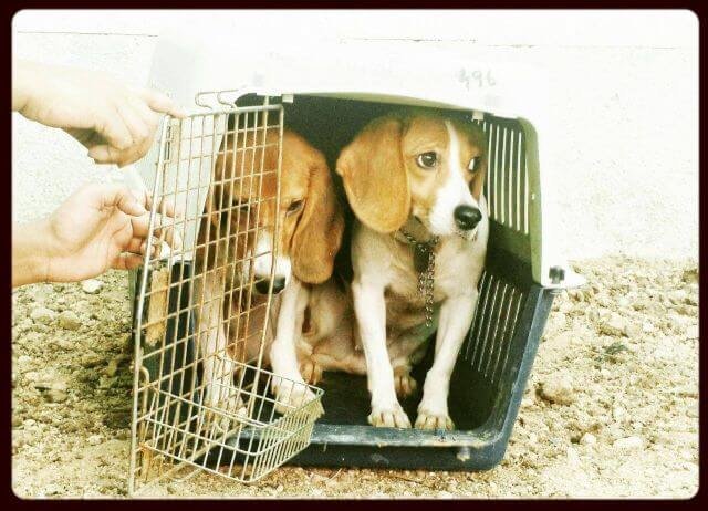Laboratory Beagles adoption