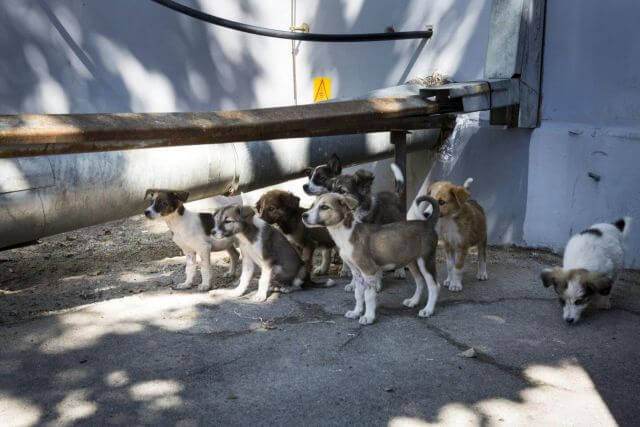 Chernobyl puppy