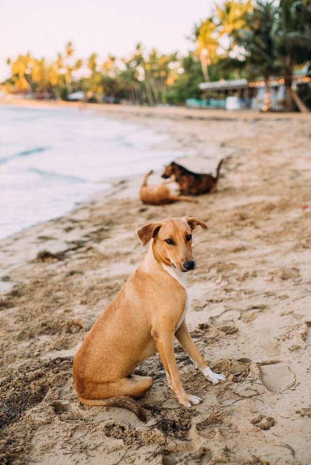 indian pariah dog breed best for India