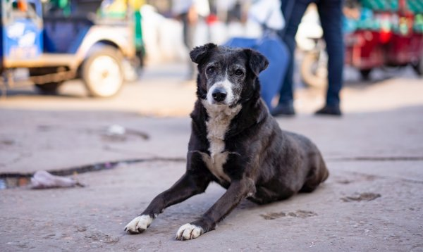 animal laws in india - stray dogs