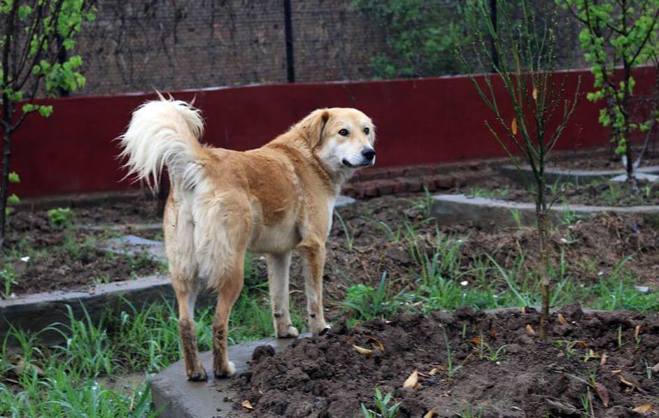 Bakharwal Kashmir dog